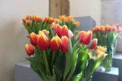 Tulipánový měsíc - tulipány v Karolinu oranžové